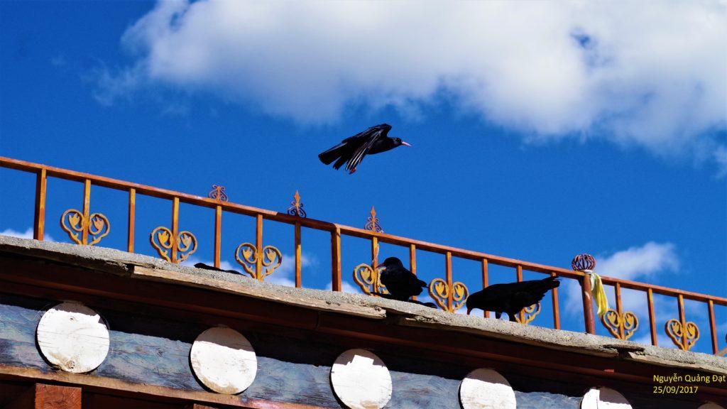 Quạ đen trên nóc tu viện Songzanlin, Shangri-La. Ảnh: Nguyễn Quảng Đạt